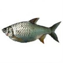 Barb Fish (Sorputi) // 1 kg