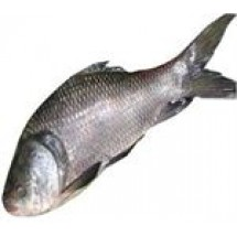 Catla (Katla) Fish After Cutting Net Weight // 1.8 kg