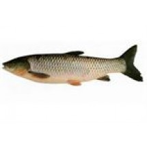 Grass Carp Fish // 1 kg