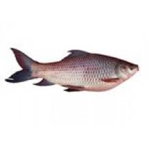Rui Fish // 1 kg