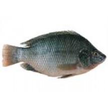 Telapia Fish // 1 kg